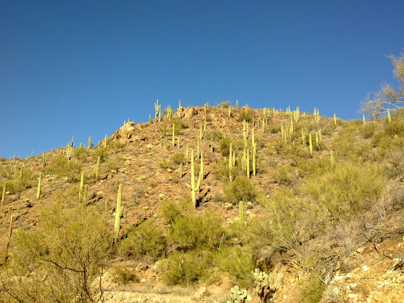 A hill, studded with tall saguaro cacti, is lit by a bright, afternoon sun